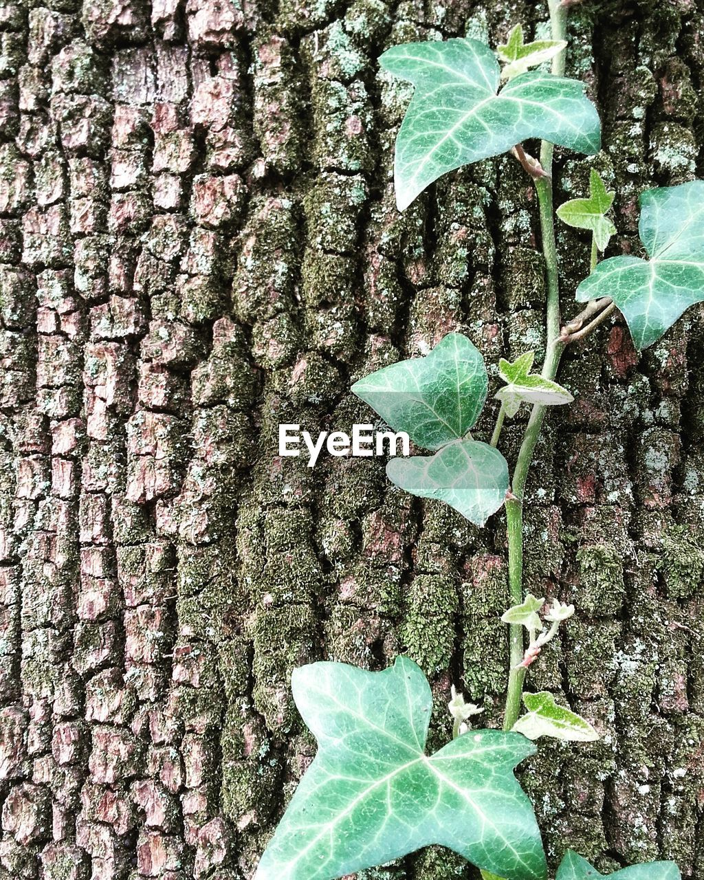 leaf, tree trunk, growth, green color, plant, day, ivy, nature, close-up, outdoors, tree, bark, no people, textured, fragility, beauty in nature