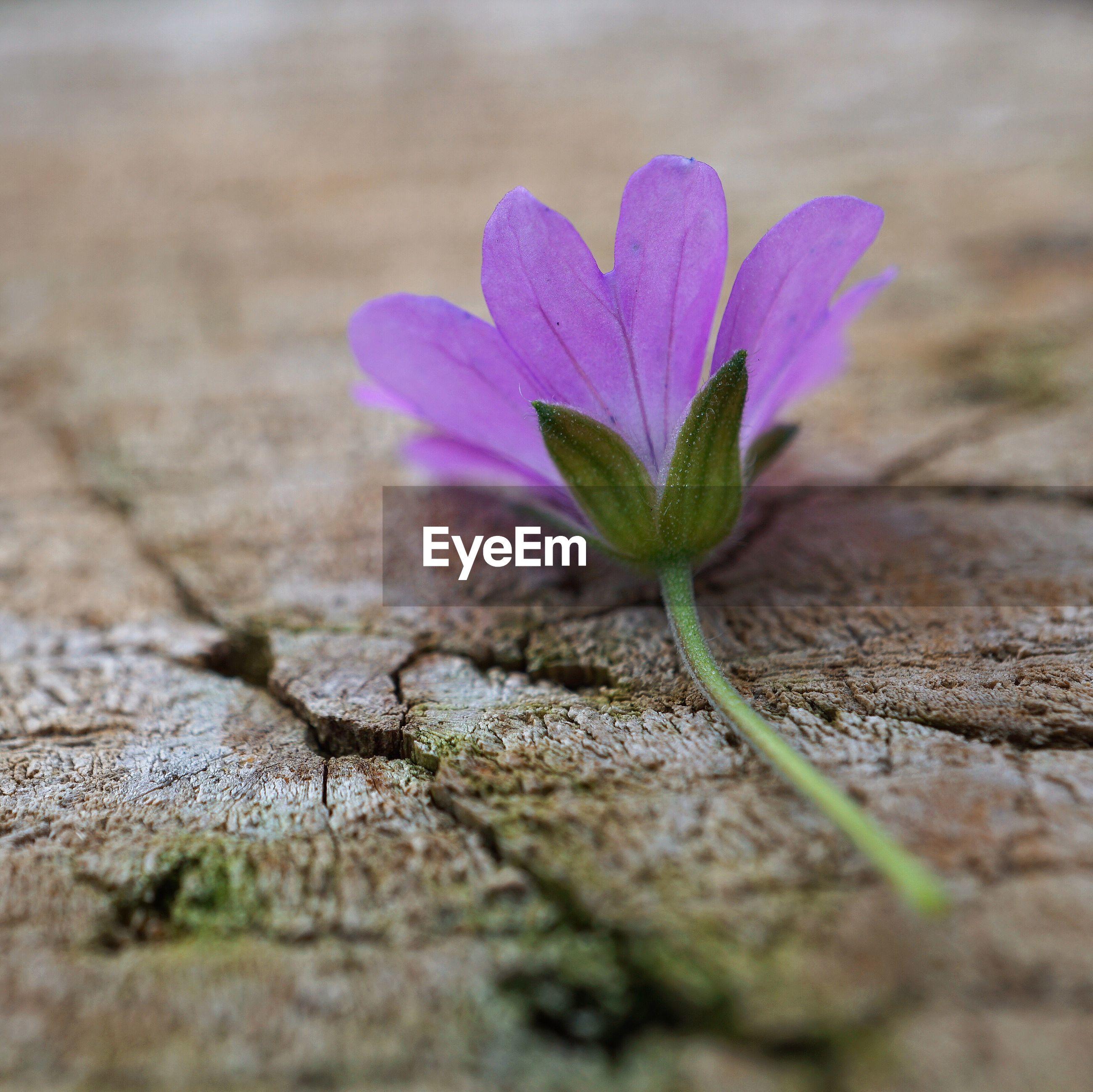 Close-up of purple flower on wood