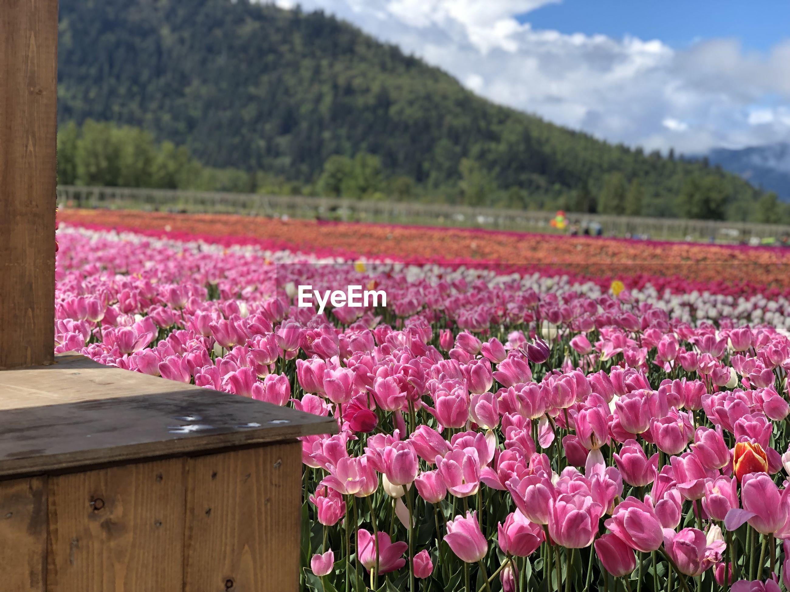 PINK FLOWERING PLANTS GROWING ON FIELD