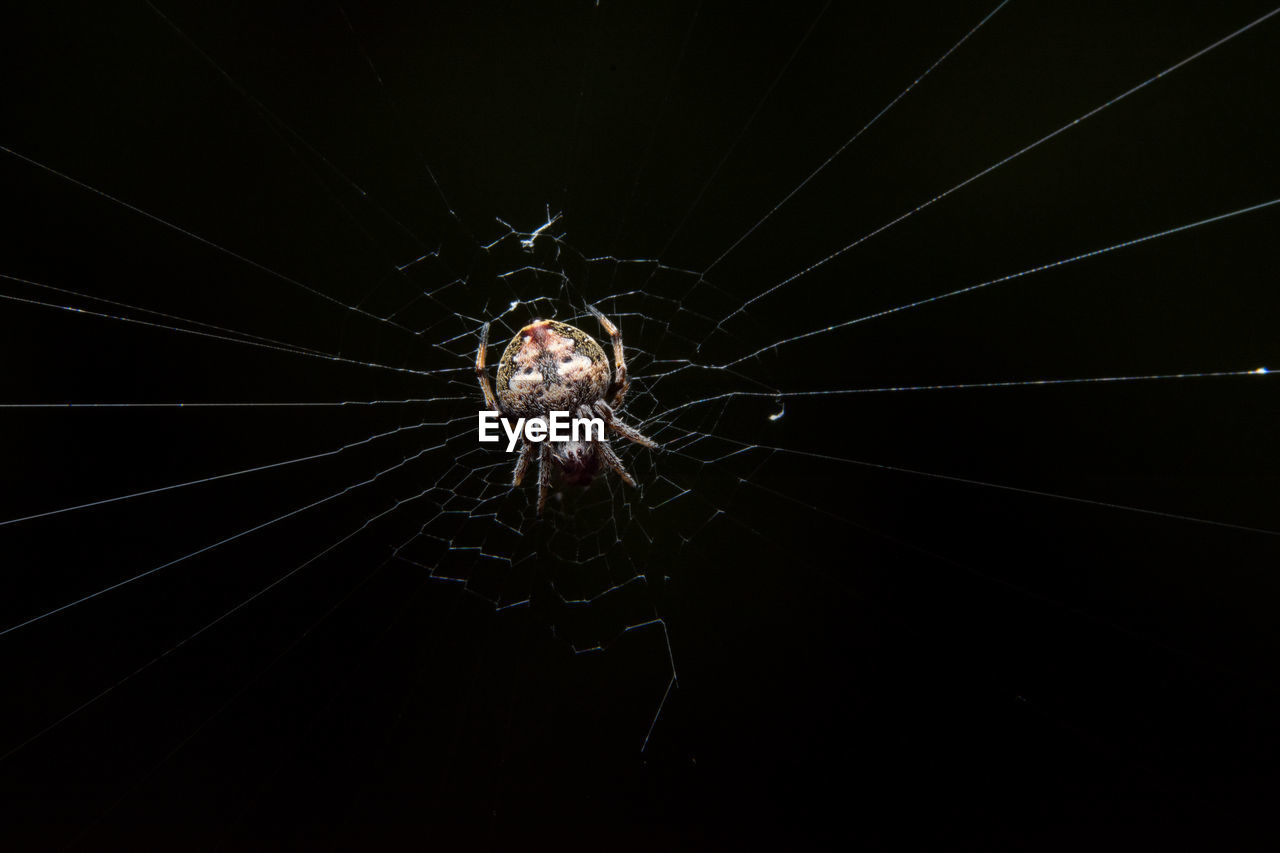 one animal, animal themes, spider, spider web, no people, animals in the wild, close-up, black background, studio shot, nature, outdoors, day