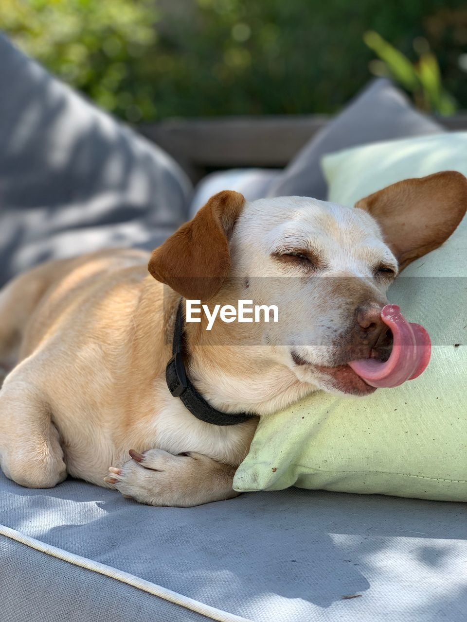 pets, domestic, domestic animals, one animal, dog, canine, animal themes, mammal, animal, vertebrate, relaxation, day, no people, facial expression, close-up, animal body part, sticking out tongue, lying down, focus on foreground, mouth open, outdoors, animal tongue, panting, animal head