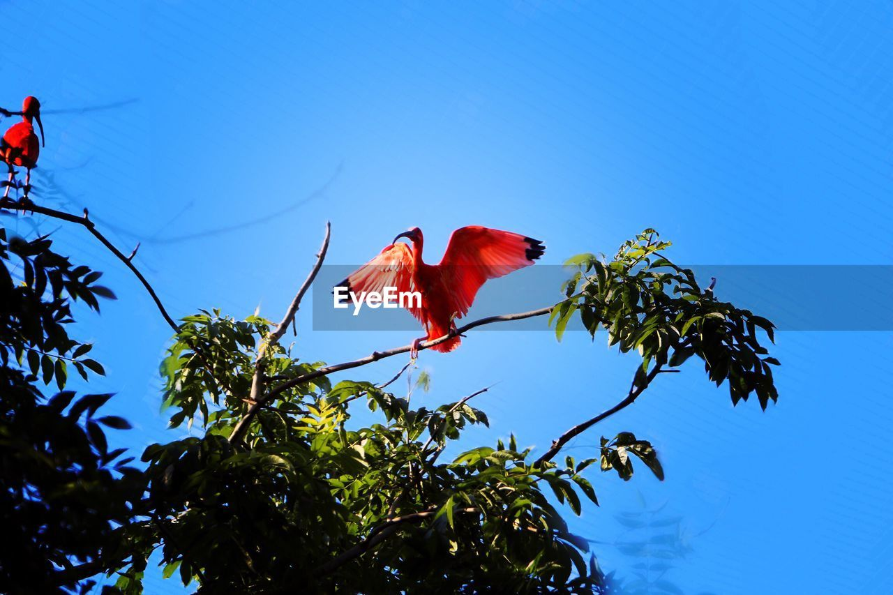 red, low angle view, tree, growth, flower, beauty in nature, nature, no people, day, hibiscus, leaf, branch, fragility, petal, freshness, outdoors, blue, flower head, sky, close-up
