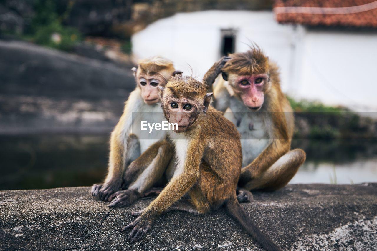 Close-up portrait of monkey sitting on rock