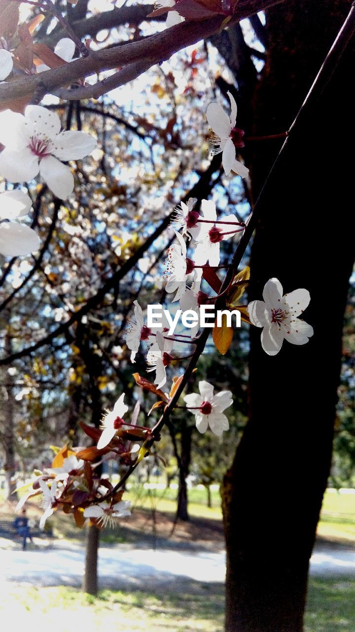 flower, cherry blossom, blossom, fragility, beauty in nature, tree, springtime, white color, cherry tree, growth, freshness, petal, nature, branch, apple blossom, no people, flower head, day, focus on foreground, close-up, plum blossom, outdoors, blooming