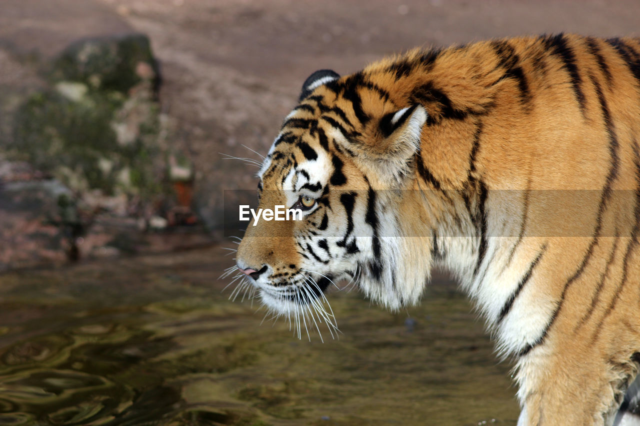 one animal, animals in the wild, animal wildlife, tiger, animal themes, day, outdoors, nature, no people, mammal, close-up