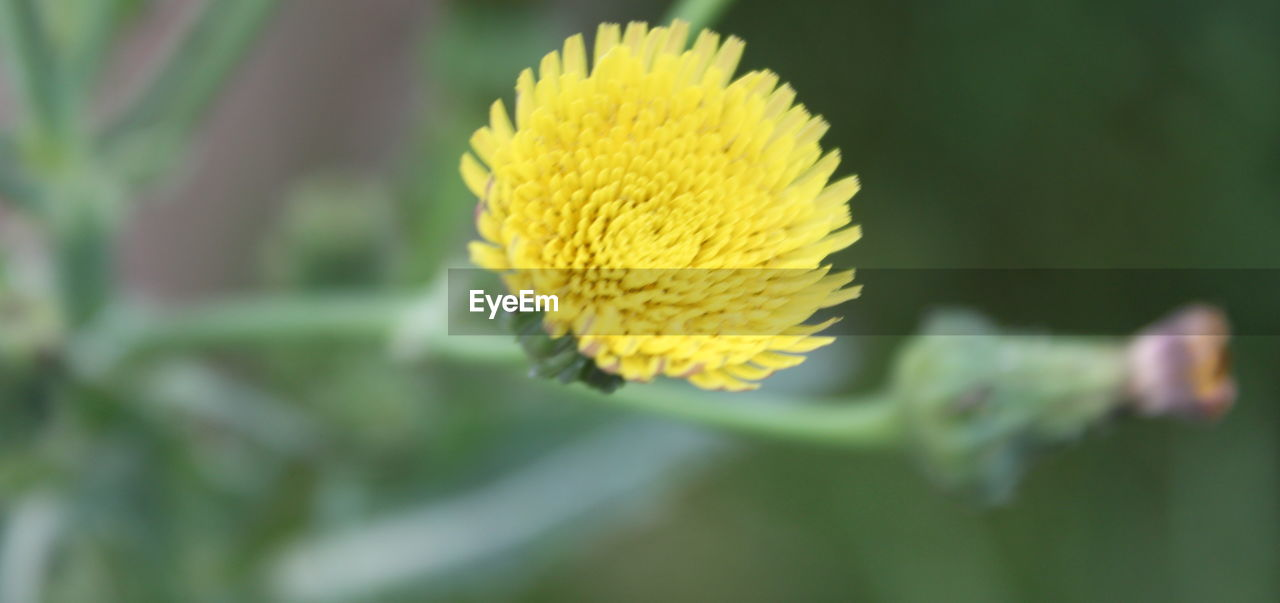 flower, yellow, nature, growth, fragility, beauty in nature, freshness, plant, petal, flower head, outdoors, day, close-up, no people, blooming