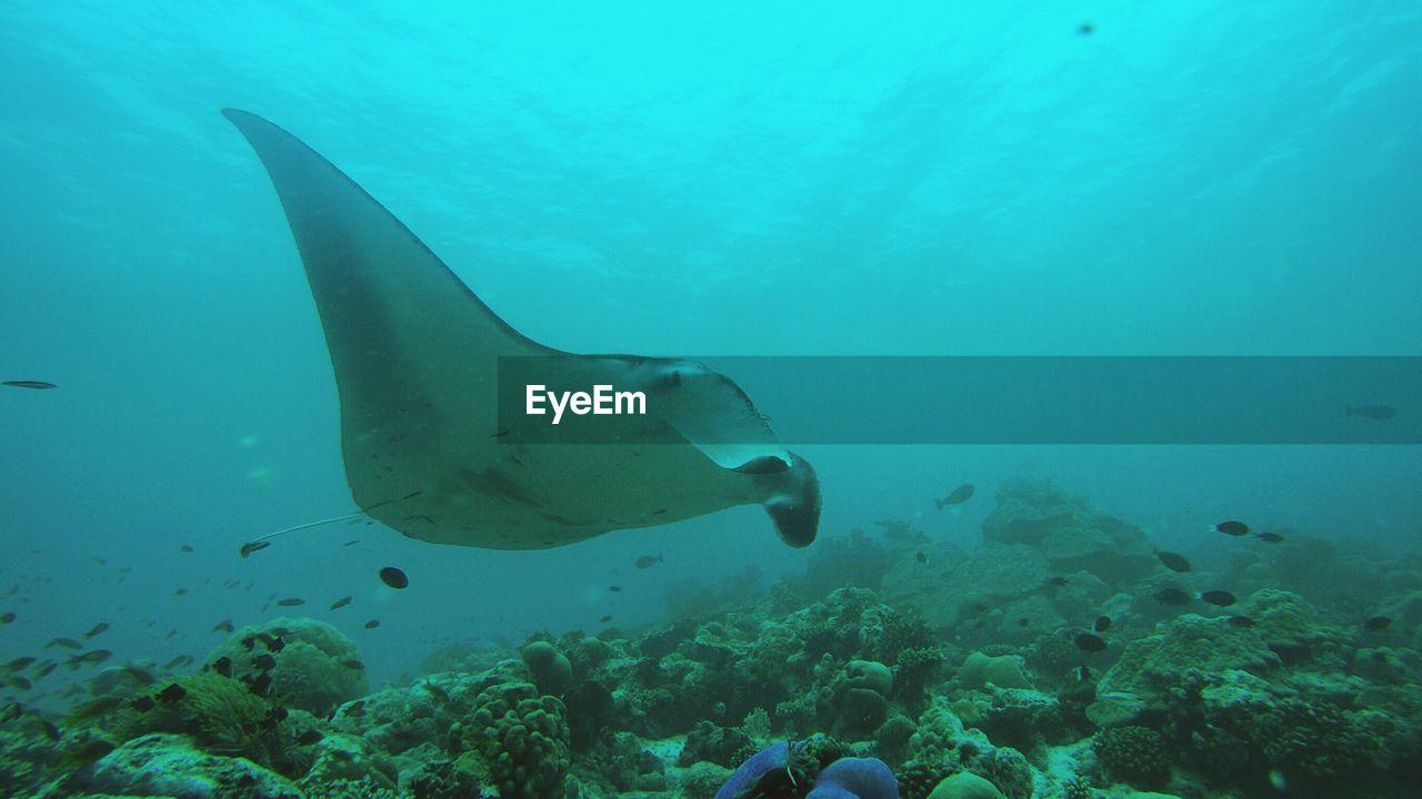 Manta ray swimming undersea