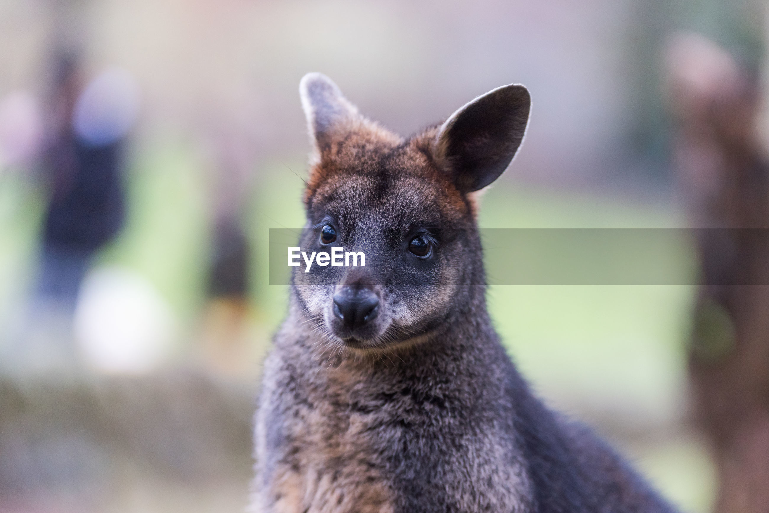 Close-up of swamp wallaby looking away