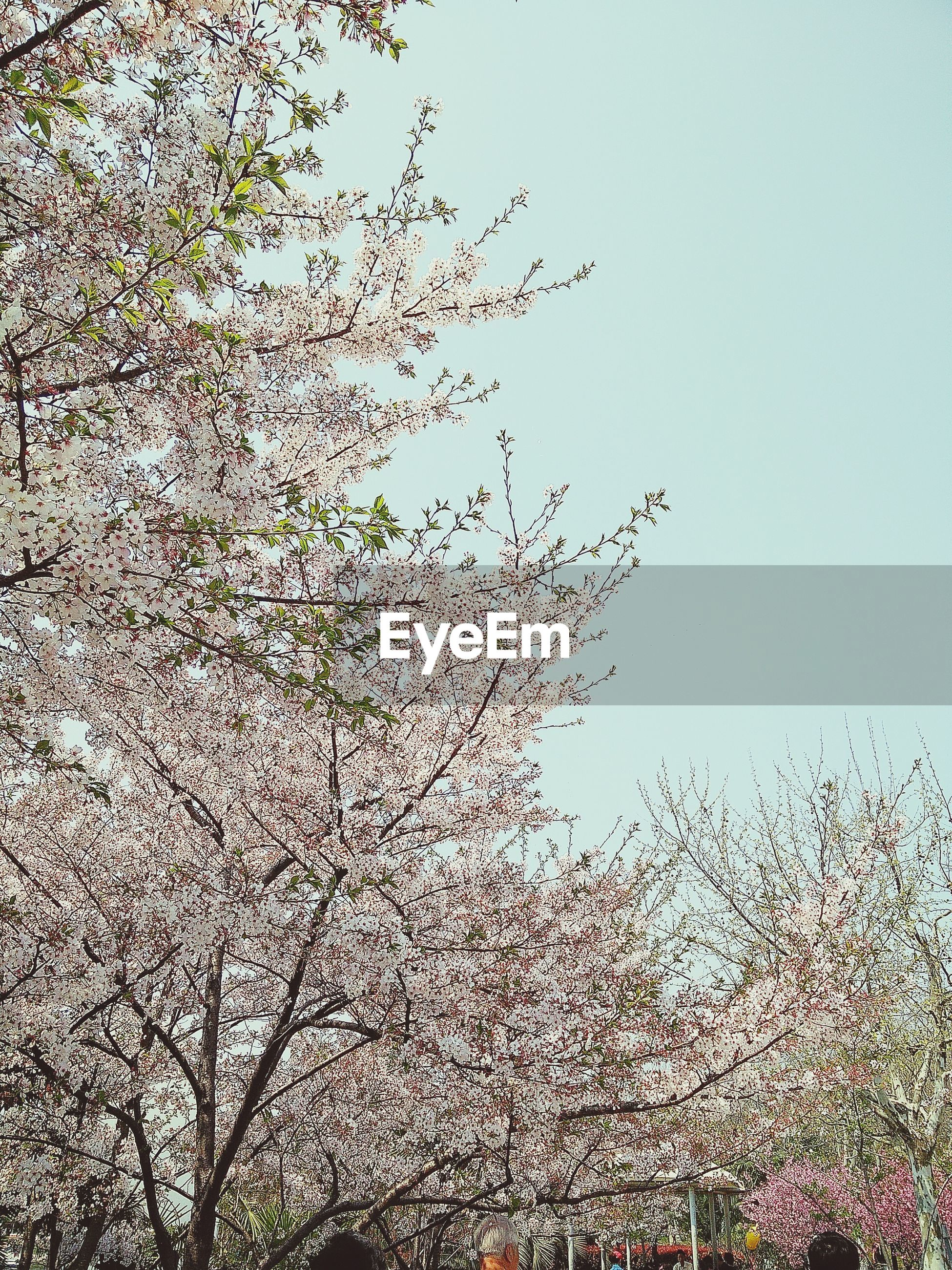 clear sky, growth, low angle view, flower, nature, tree, branch, plant, sky, beauty in nature, abundance, freshness, day, fragility, copy space, outdoors, no people, dry, leaf, growing