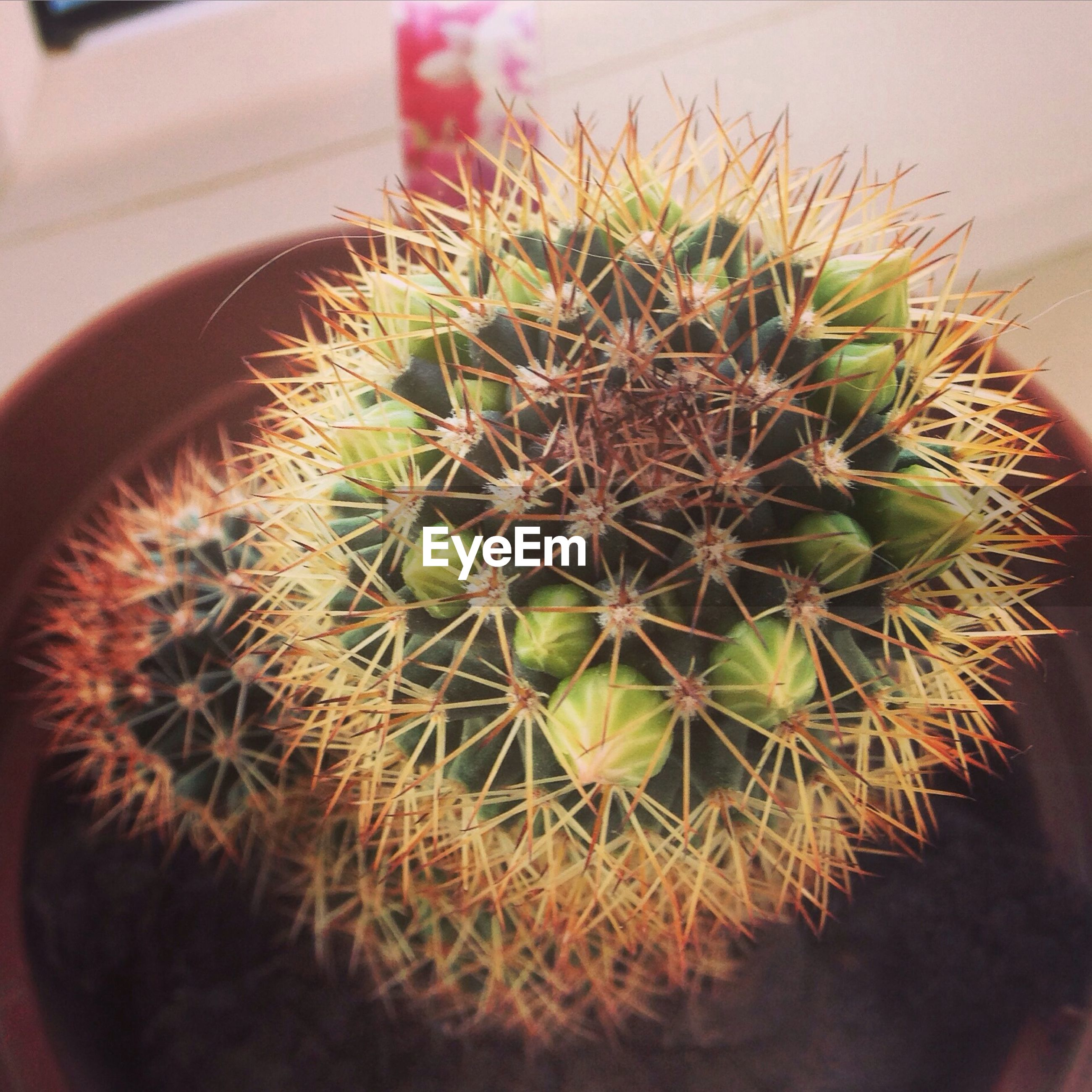 indoors, close-up, potted plant, plant, cactus, growth, freshness, high angle view, leaf, food and drink, spiked, thorn, healthy eating, no people, food, selective focus, nature, focus on foreground, green color, still life