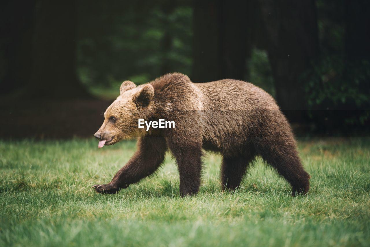 Bear Walking On Field
