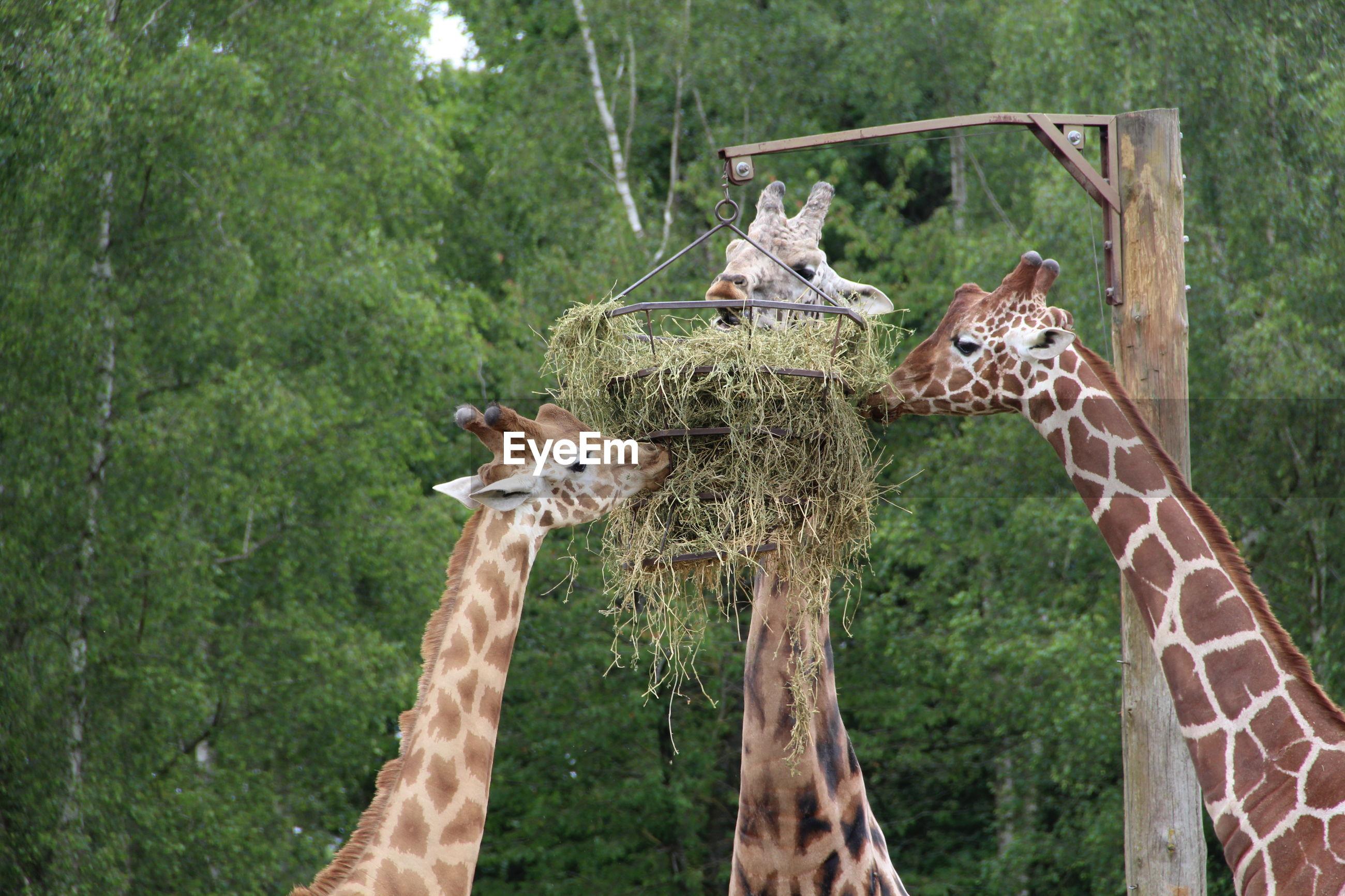Giraffes feeding on grass against trees