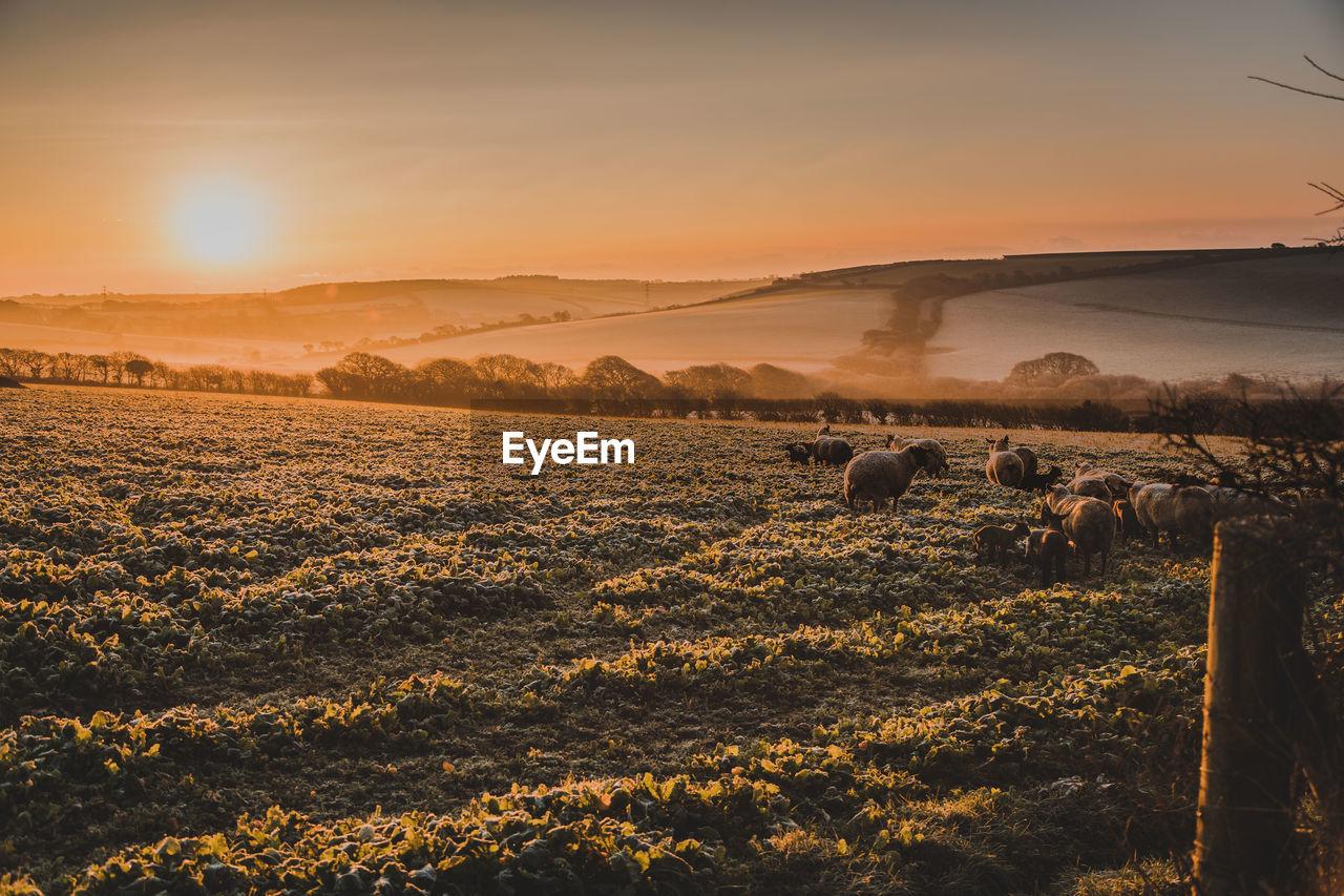 sky, sunset, landscape, scenics - nature, environment, beauty in nature, field, land, tranquil scene, nature, tranquility, agriculture, no people, orange color, rural scene, sunlight, domestic, plant, non-urban scene, farm, sun, outdoors