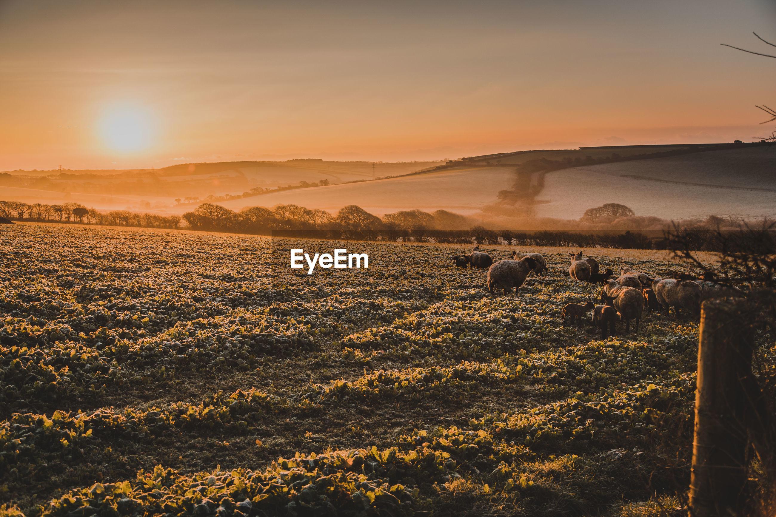 Sheep on landscape against sky during sunset