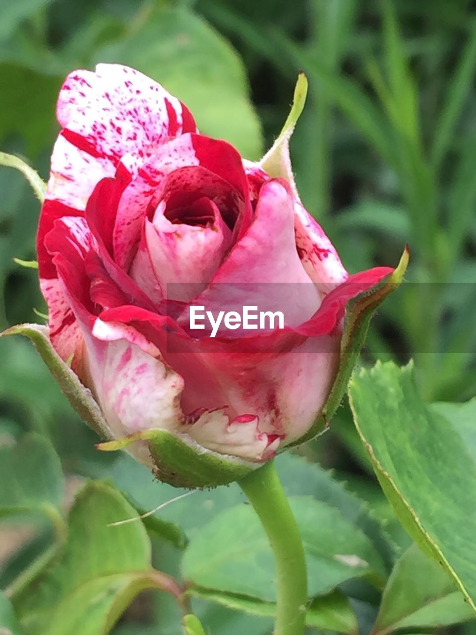 flower, petal, nature, fragility, beauty in nature, flower head, growth, freshness, plant, pink color, close-up, no people, rose - flower, outdoors, red, day, blooming