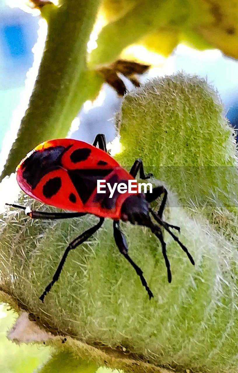 insect, invertebrate, animal, animal themes, animals in the wild, animal wildlife, one animal, close-up, nature, no people, plant part, leaf, day, red, animal wing, plant, beetle, focus on foreground, green color, flower, outdoors, animal leg, butterfly - insect