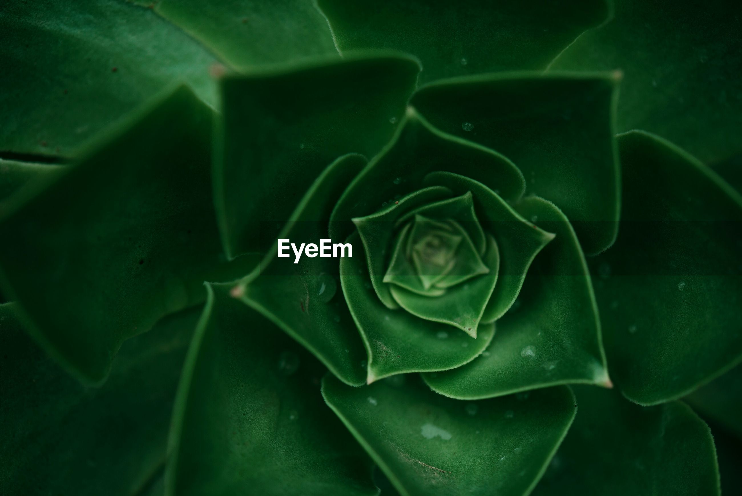 CLOSE-UP OF GREEN SUCCULENT PLANT