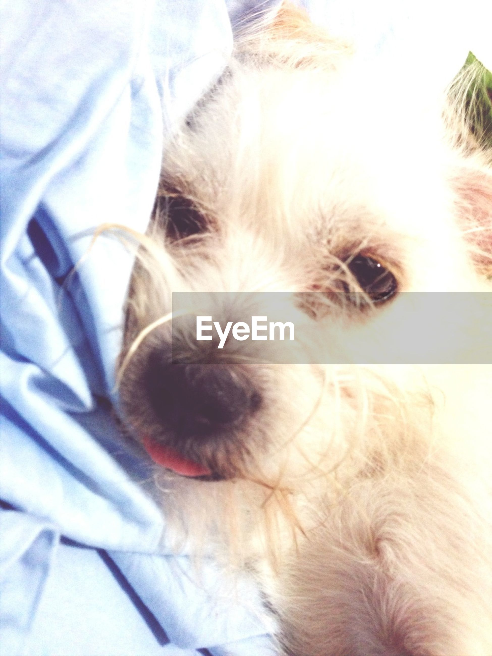 pets, domestic animals, dog, mammal, one animal, animal themes, indoors, close-up, animal head, animal body part, animal hair, portrait, pampered pets, part of, looking at camera, relaxation, home interior, day, loyalty, lying down