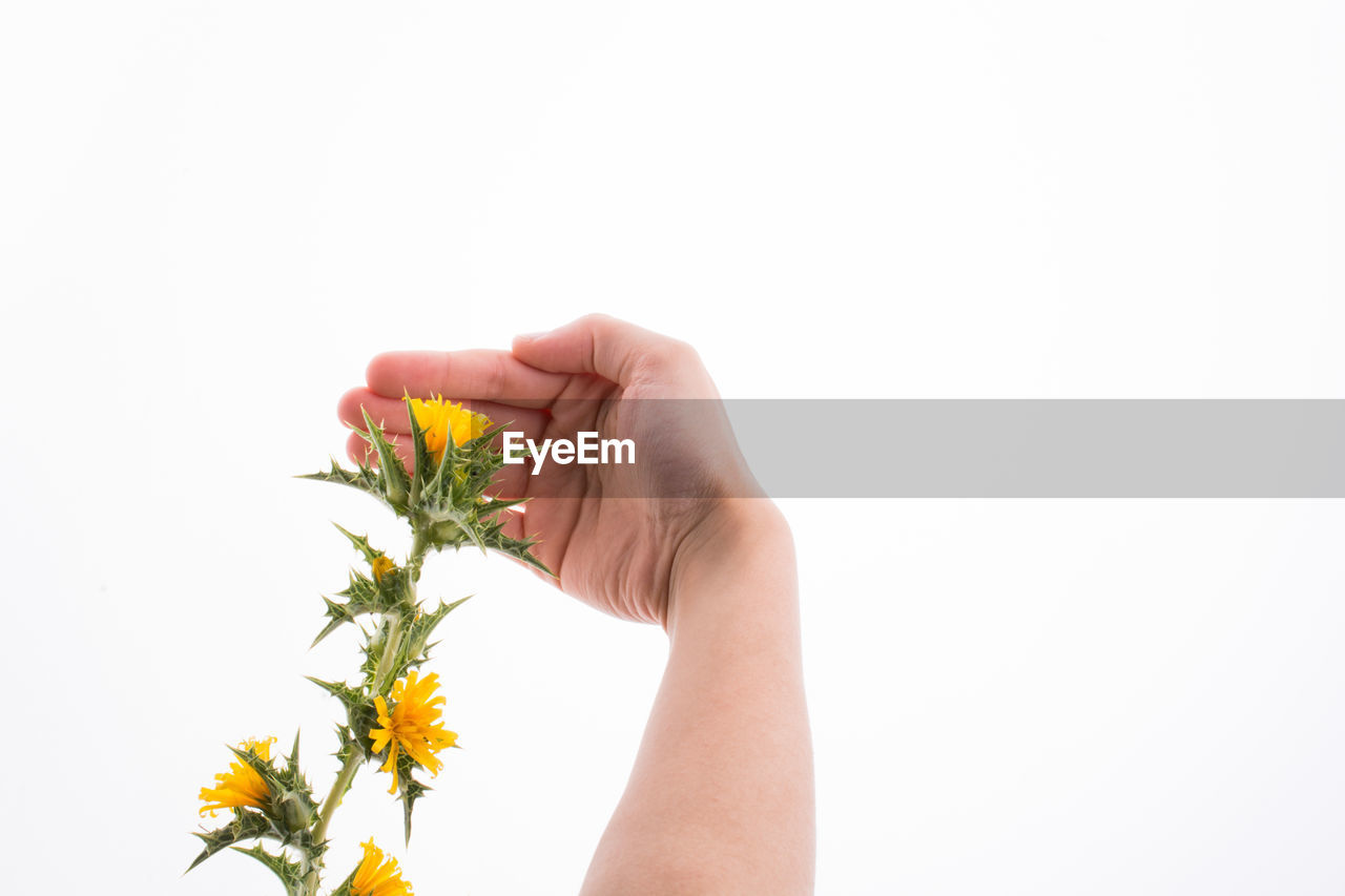 Close-up of hand holding yellow flower against white background