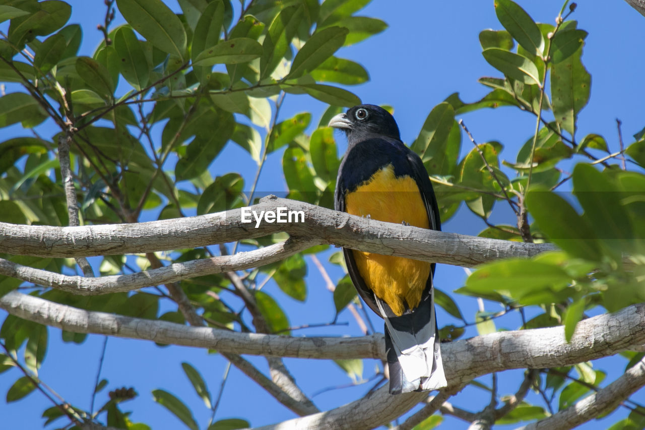 vertebrate, animal wildlife, animal themes, animal, animals in the wild, bird, perching, one animal, plant, tree, low angle view, branch, no people, leaf, nature, plant part, sky, day, outdoors, blue