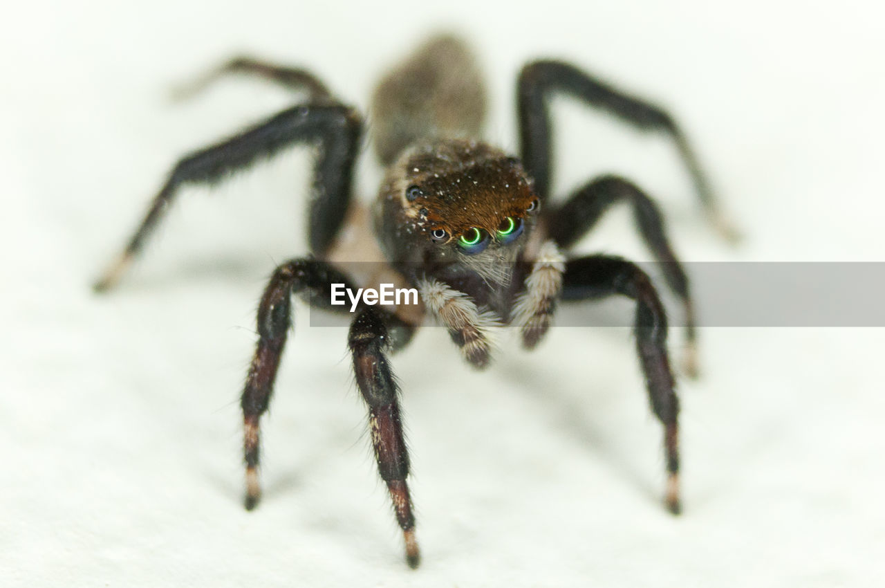 invertebrate, insect, animal, arachnid, animal themes, spider, animal wildlife, animals in the wild, arthropod, close-up, one animal, animal leg, zoology, jumping spider, no people, animal body part, selective focus, focus on foreground, outdoors, nature