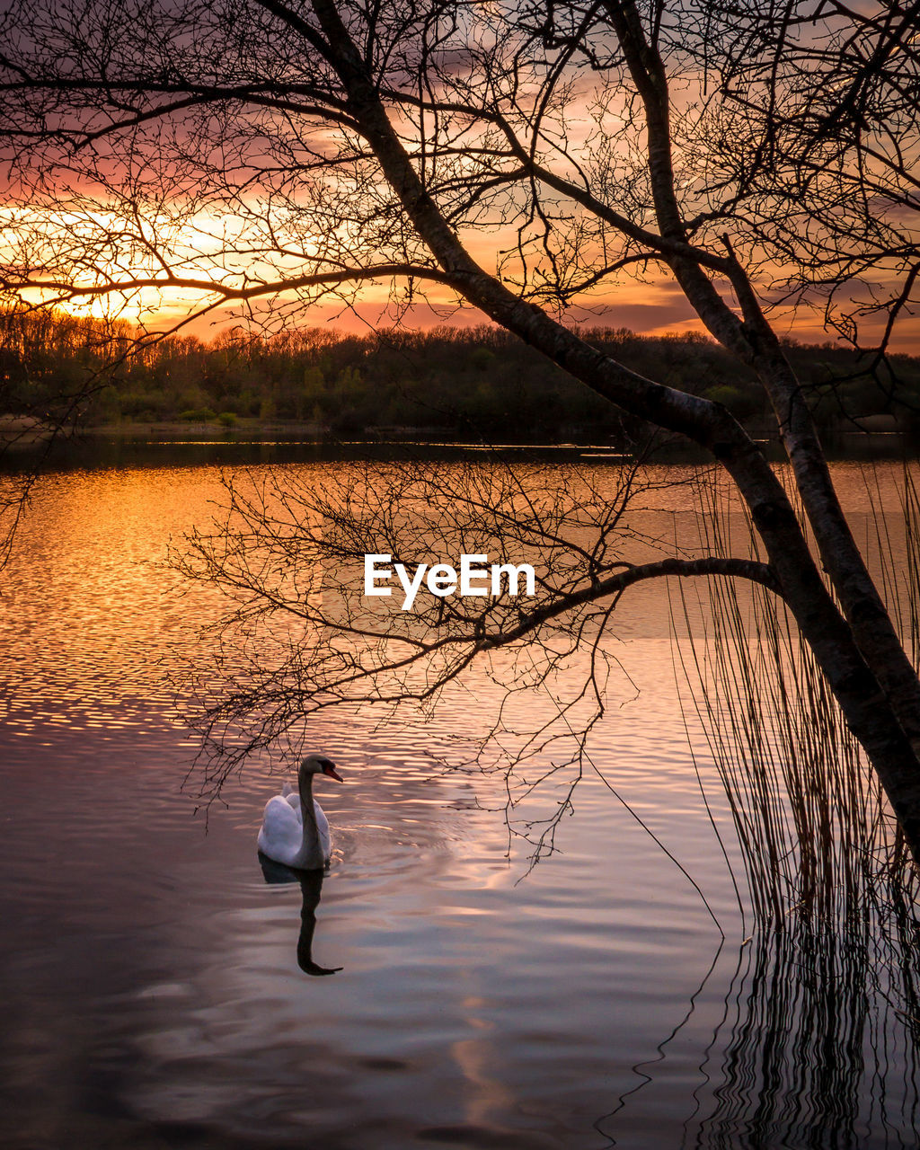 lake, water, reflection, nature, animals in the wild, animal themes, bare tree, sunset, waterfront, beauty in nature, tree, bird, one animal, animal wildlife, swimming, no people, outdoors, swan, scenics, day
