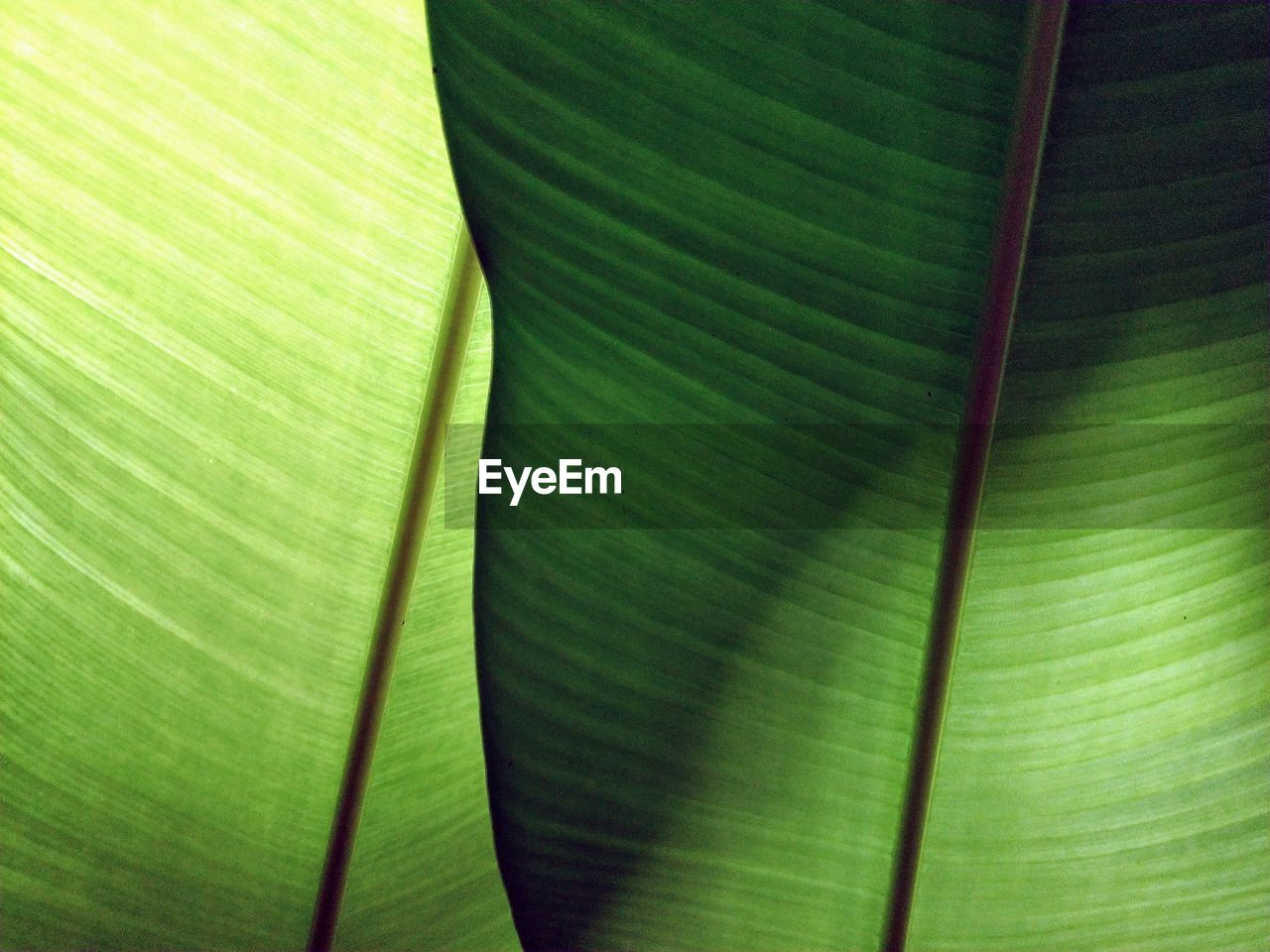 leaf, green color, plant part, banana leaf, backgrounds, full frame, no people, close-up, plant, leaves, leaf vein, pattern, growth, palm leaf, natural pattern, beauty in nature, nature, banana tree, textured, palm tree, abstract, abstract backgrounds