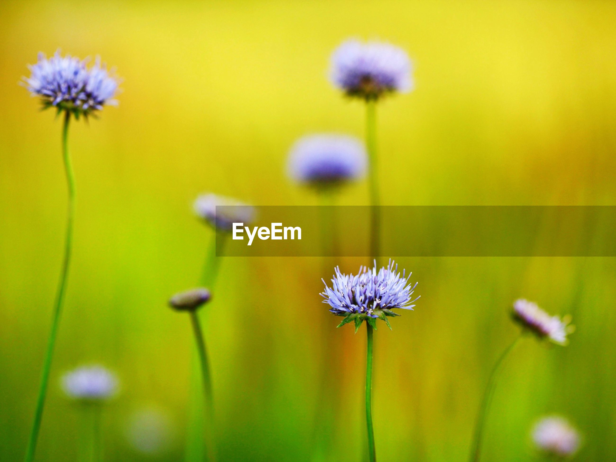 flower, nature, growth, fragility, beauty in nature, flower head, plant, petal, freshness, purple, no people, field, selective focus, close-up, focus on foreground, blooming, outdoors, yellow, uncultivated, day, cosmos flower, thistle