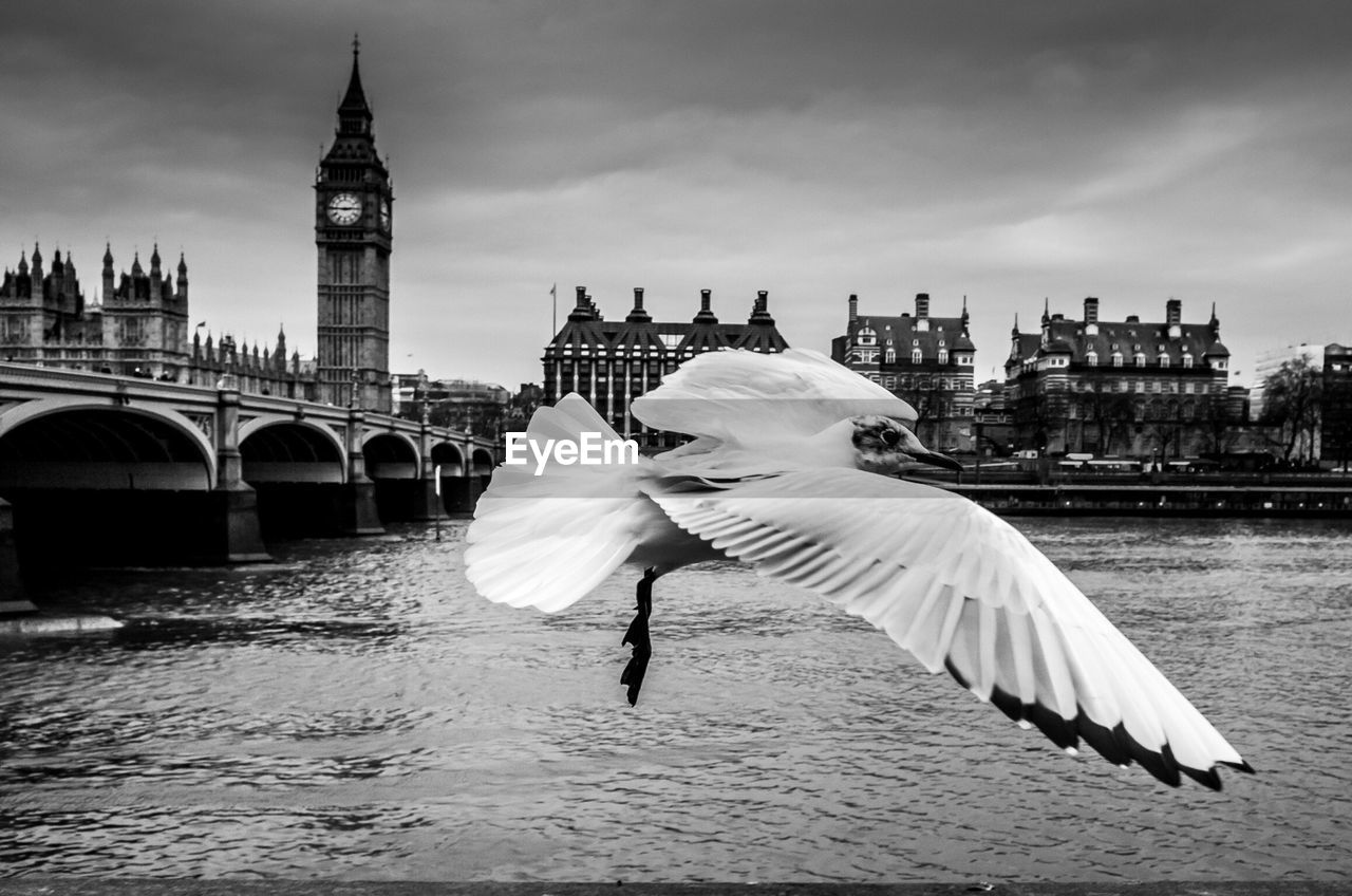 Seagull flying with big ben parliament building at background