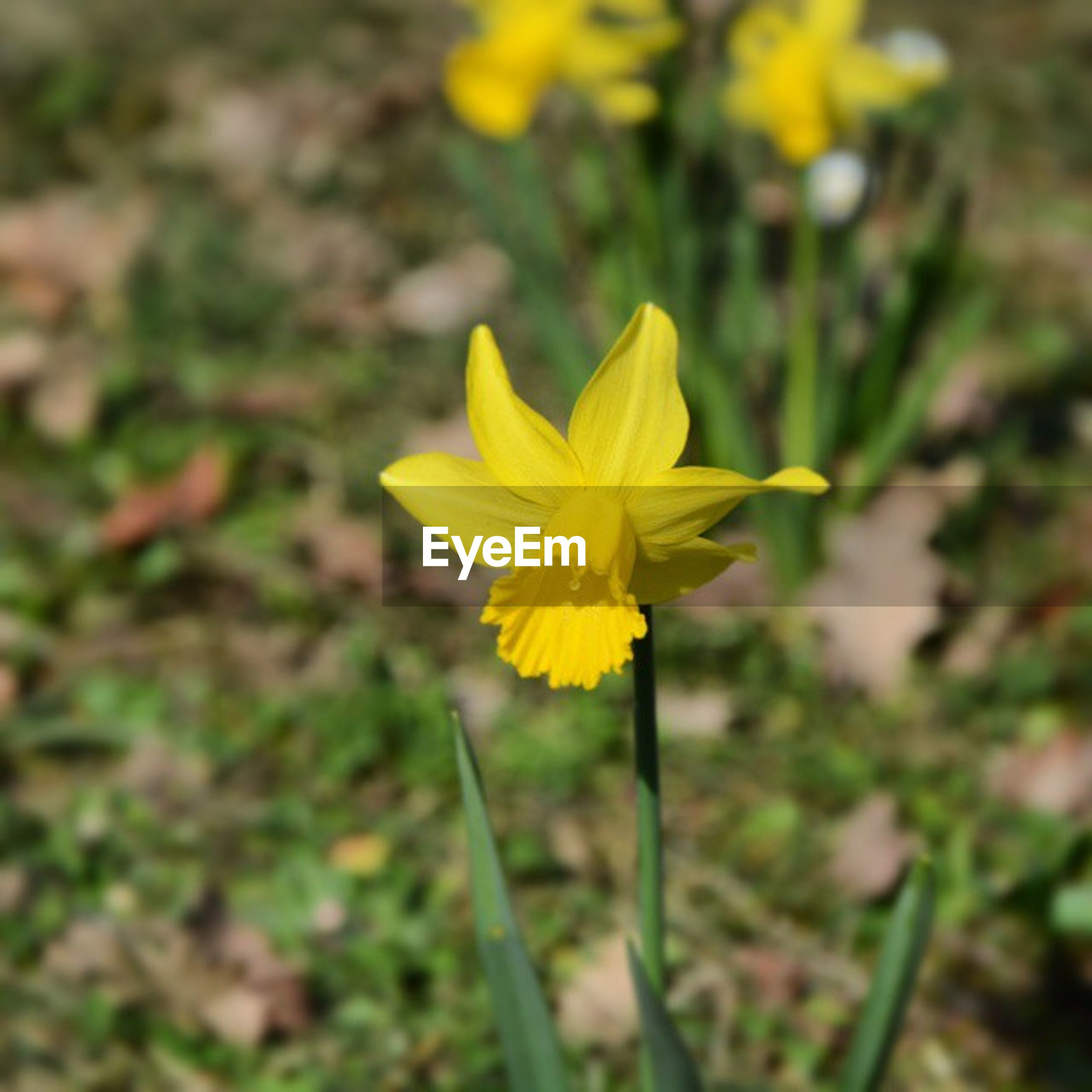 flower, yellow, petal, fragility, flower head, freshness, growth, beauty in nature, focus on foreground, blooming, close-up, plant, nature, single flower, in bloom, stem, pollen, outdoors, field, day