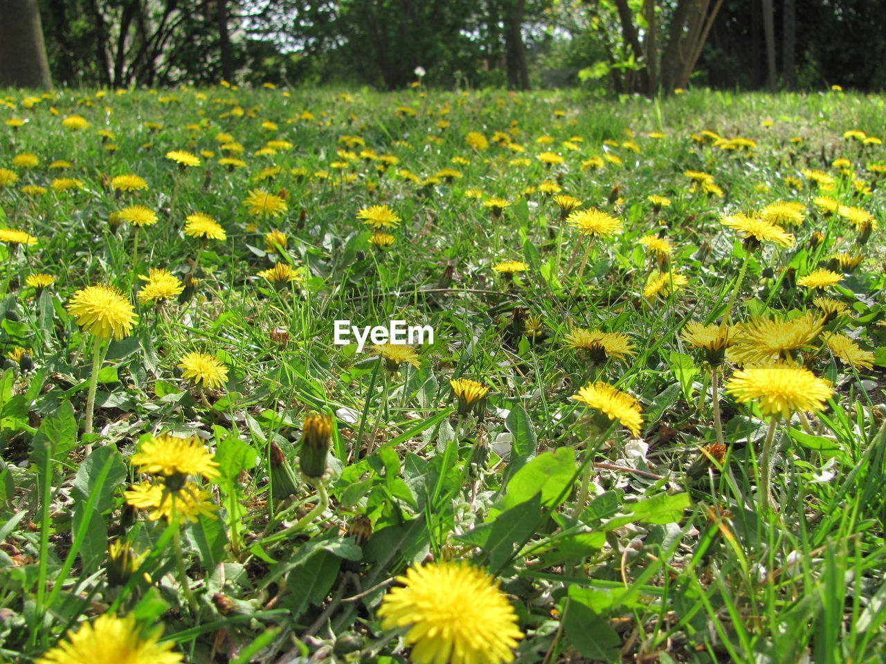 flower, yellow, nature, growth, beauty in nature, freshness, field, outdoors, fragility, plant, day, tranquility, no people, grass, petal, springtime, flower head, blooming, close-up