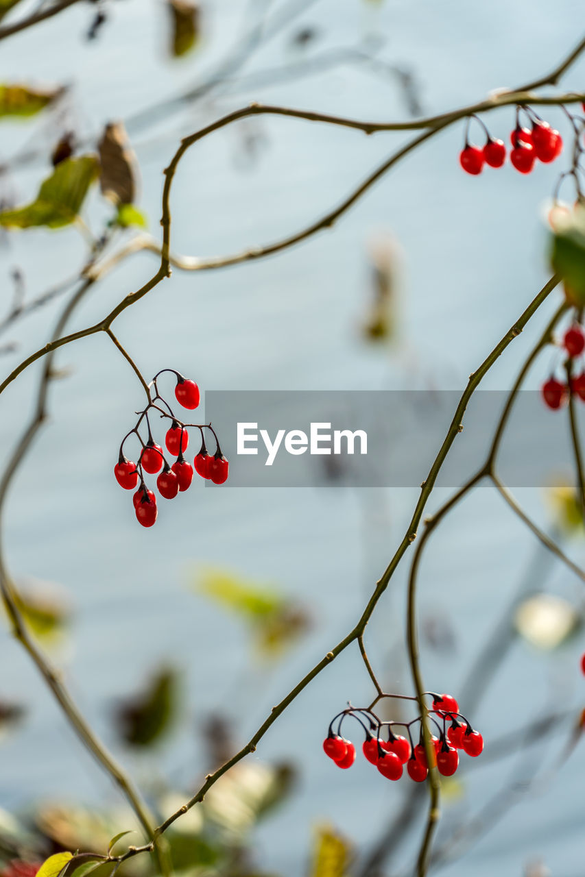 fruit, red, healthy eating, food, food and drink, focus on foreground, berry fruit, tree, growth, close-up, freshness, plant, branch, no people, day, twig, nature, wellbeing, beauty in nature, outdoors, red currant, ripe, rowanberry