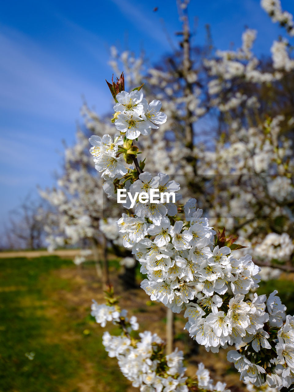 flower, flowering plant, fragility, plant, vulnerability, freshness, growth, beauty in nature, close-up, white color, nature, focus on foreground, petal, blossom, tree, flower head, day, springtime, no people, sky, outdoors, pollen, cherry blossom, pollination