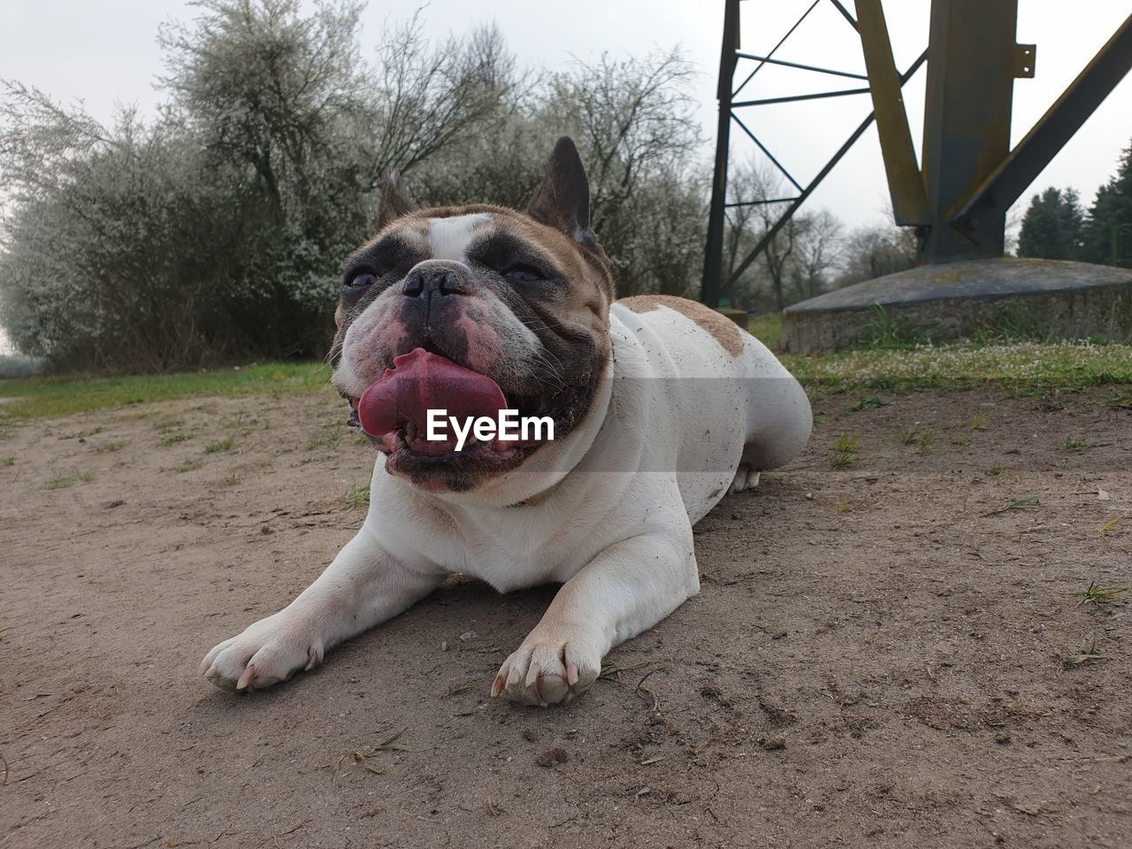 one animal, animal themes, animal, mammal, dog, domestic animals, canine, pets, domestic, vertebrate, facial expression, sticking out tongue, no people, land, day, relaxation, nature, portrait, plant, field, mouth open, animal tongue, panting