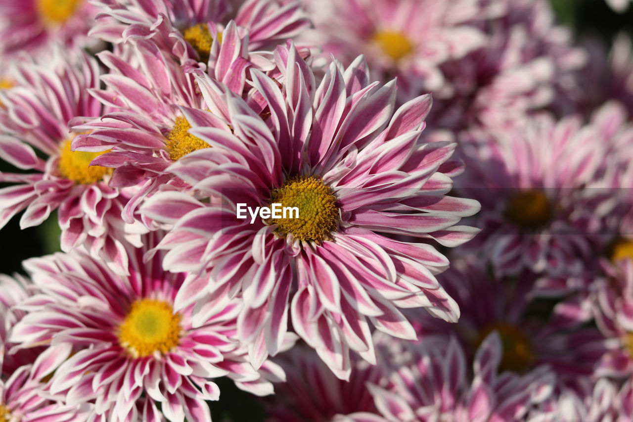 flower, petal, beauty in nature, fragility, flower head, freshness, nature, pink color, no people, purple, growth, blooming, close-up, plant, outdoors, day
