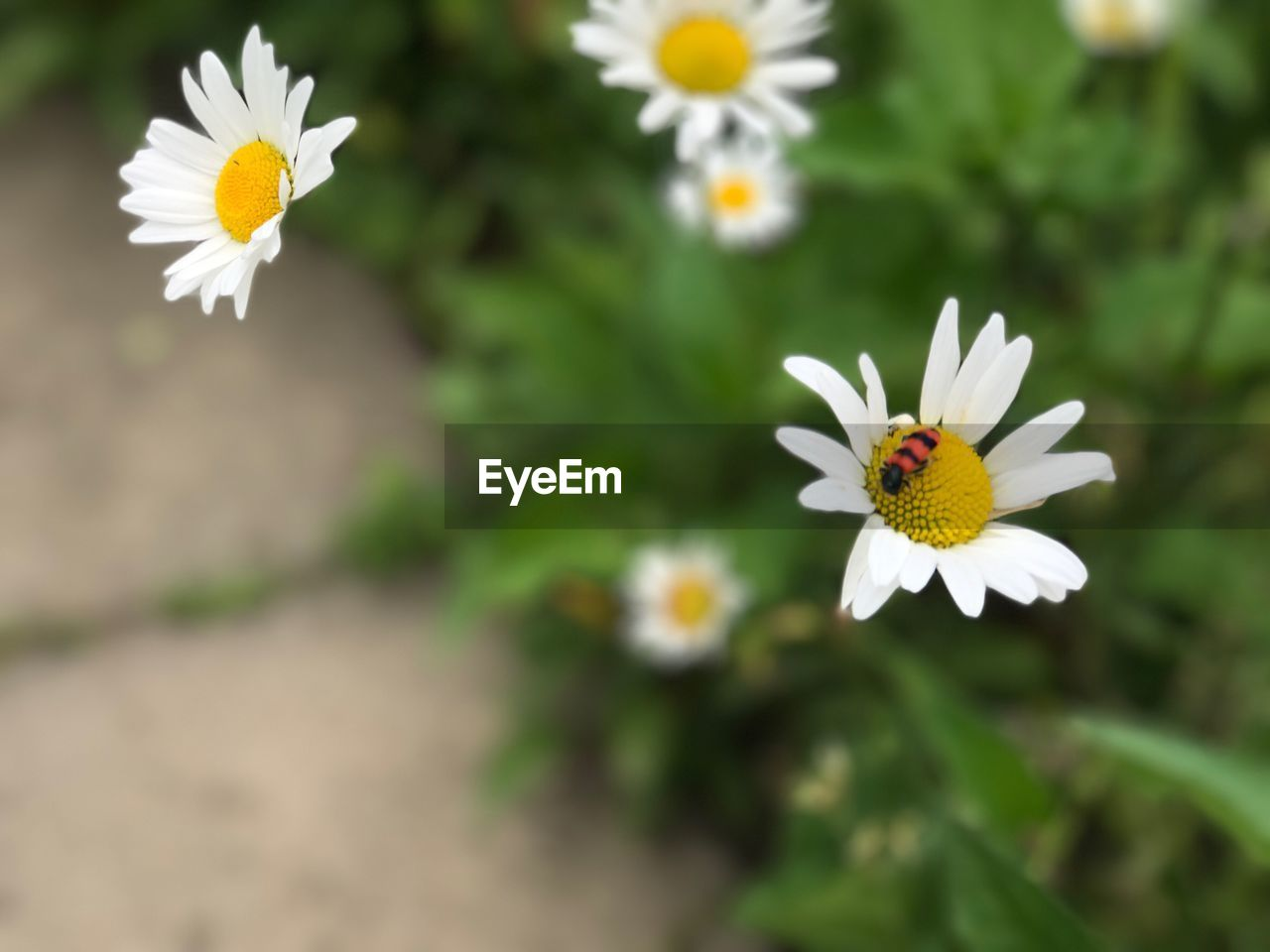 flower, petal, flower head, nature, fragility, freshness, daisy, white color, beauty in nature, growth, pollen, plant, blooming, yellow, outdoors, close-up, no people, day