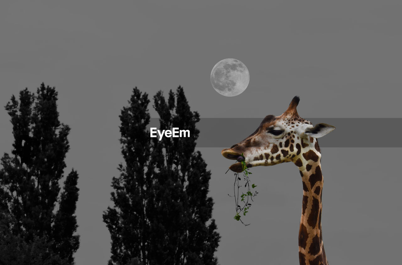 moon, animal themes, one animal, nature, tree, mammal, standing, no people, giraffe, night, beauty in nature, outdoors, sky, animal wildlife, animals in the wild, domestic animals, astronomy