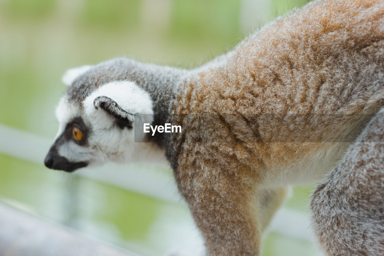animal, one animal, animal themes, mammal, focus on foreground, animal wildlife, vertebrate, animals in the wild, no people, lemur, day, close-up, outdoors, feline, side view, looking, cat, nature, animal body part, domestic animals, animal head, whisker