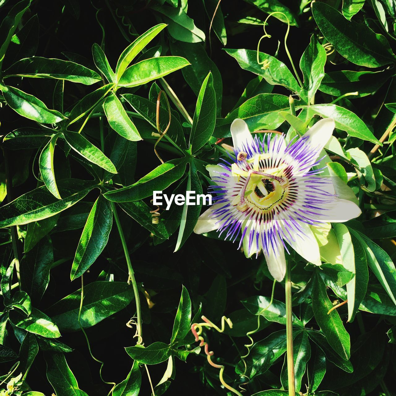 flower, plant, flowering plant, beauty in nature, growth, fragility, vulnerability, freshness, petal, inflorescence, flower head, close-up, purple, passion flower, nature, pollen, leaf, plant part, green color, no people