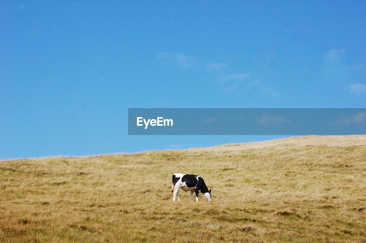 Low Angle View Of Cow Grazing On Hill Against Blue Sky