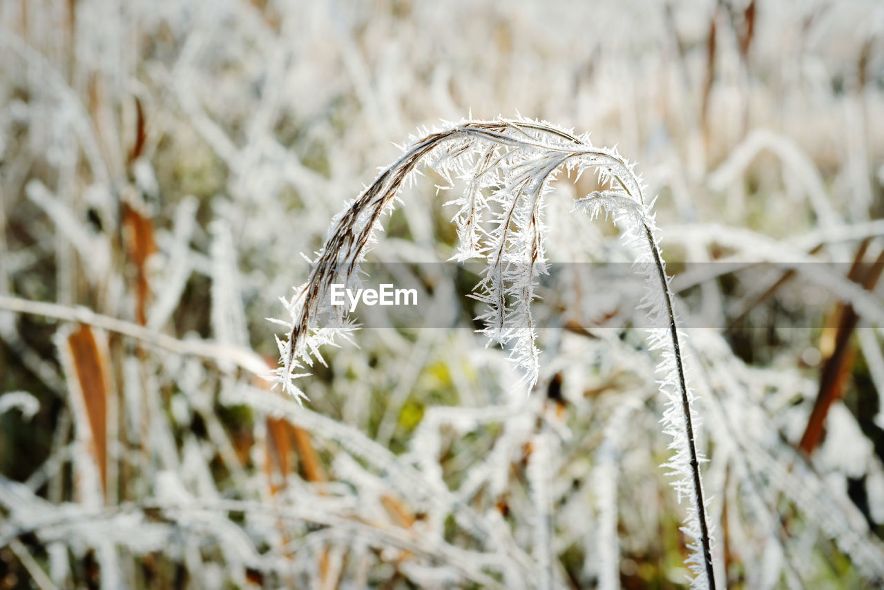 plant, growth, close-up, winter, cold temperature, nature, day, field, no people, focus on foreground, snow, beauty in nature, frozen, land, tranquility, grass, dry, outdoors, frost, ice, dead plant, wilted plant, stalk