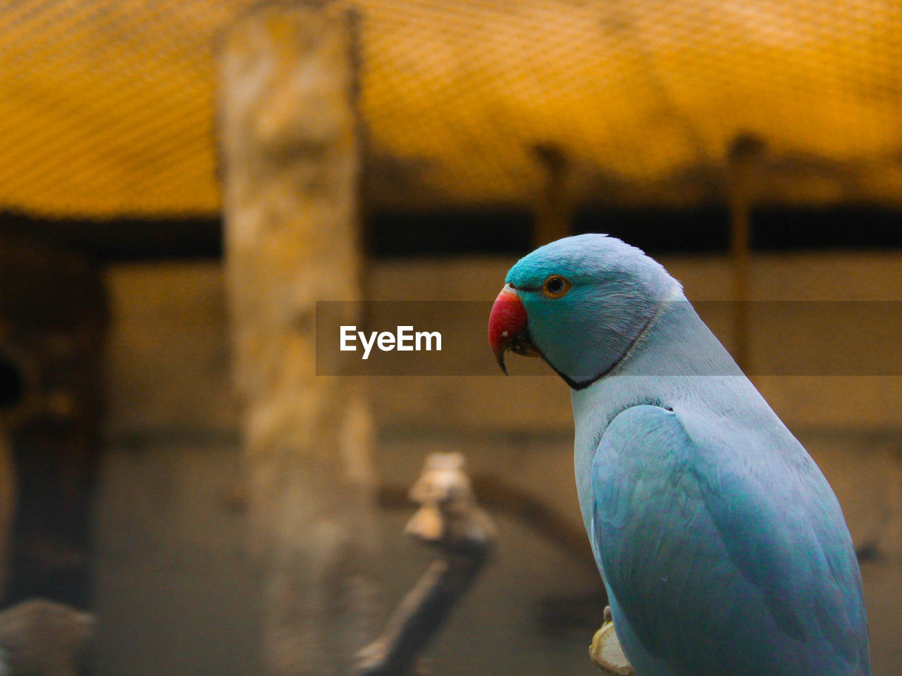 bird, animal themes, animal, vertebrate, parrot, one animal, animal wildlife, close-up, focus on foreground, animals in the wild, no people, budgerigar, perching, nature, beauty in nature, day, blue, outdoors, parakeet, animal head, animal eye