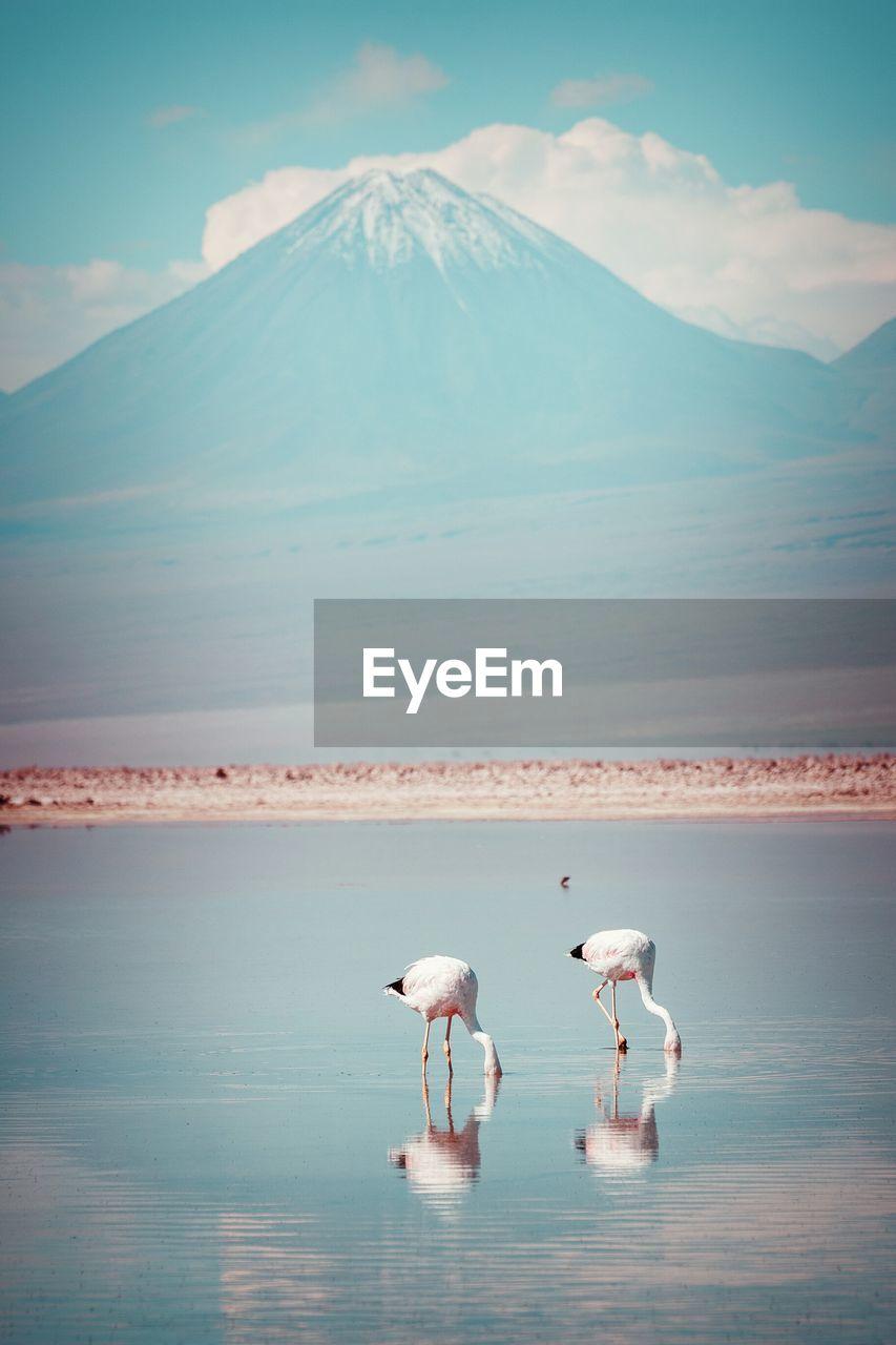 Flamingoes Foraging In Lake