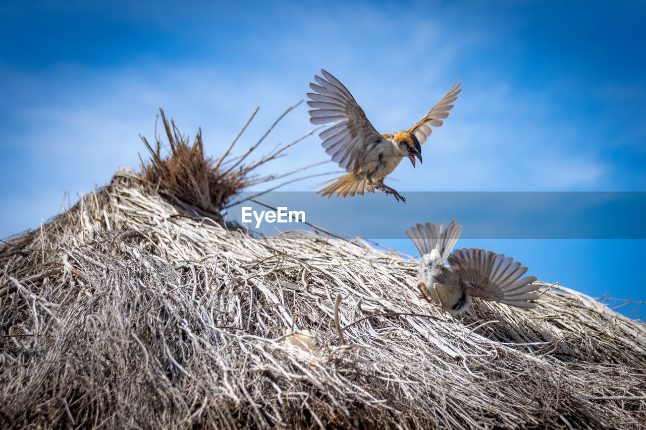 animal themes, animal, vertebrate, animals in the wild, bird, animal wildlife, flying, spread wings, sky, group of animals, nature, no people, two animals, day, low angle view, cloud - sky, animal nest, mid-air, bird nest, outdoors, animal family, flapping