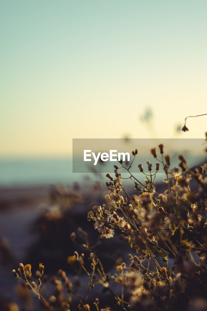 sky, beauty in nature, growth, tranquility, plant, nature, flowering plant, no people, flower, fragility, vulnerability, land, focus on foreground, sunset, scenics - nature, water, close-up, sea, freshness, selective focus, outdoors, horizon over water
