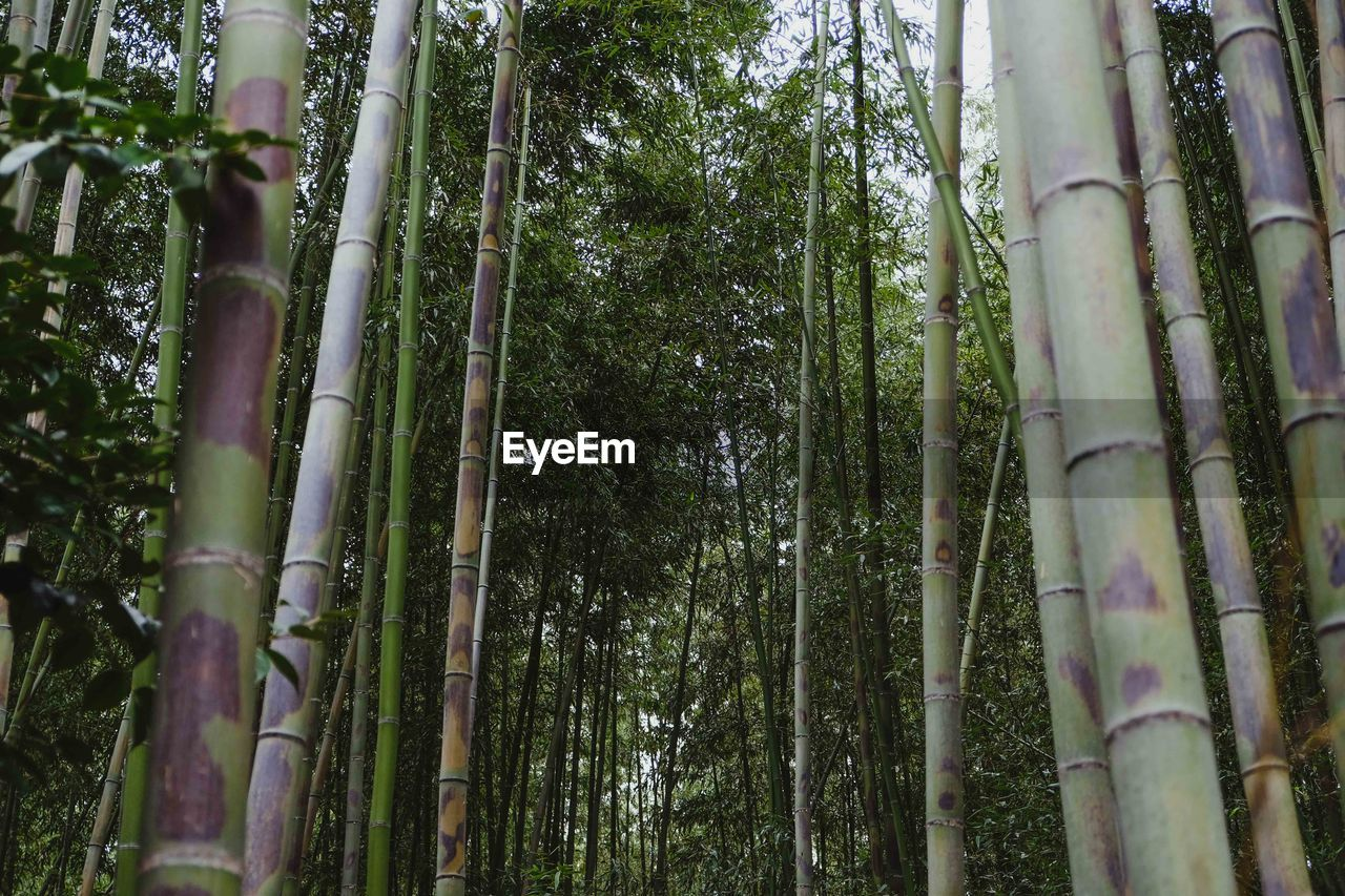 forest, tree, plant, bamboo - plant, bamboo grove, bamboo, growth, land, tree trunk, trunk, tranquility, beauty in nature, no people, nature, woodland, low angle view, outdoors, day, tranquil scene, green color