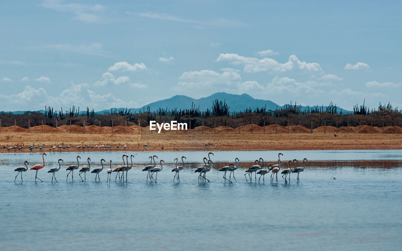 animals in the wild, water, animal wildlife, vertebrate, bird, animal themes, animal, group of animals, beauty in nature, lake, sky, no people, large group of animals, nature, cloud - sky, scenics - nature, flamingo, day, waterfront, flock of birds