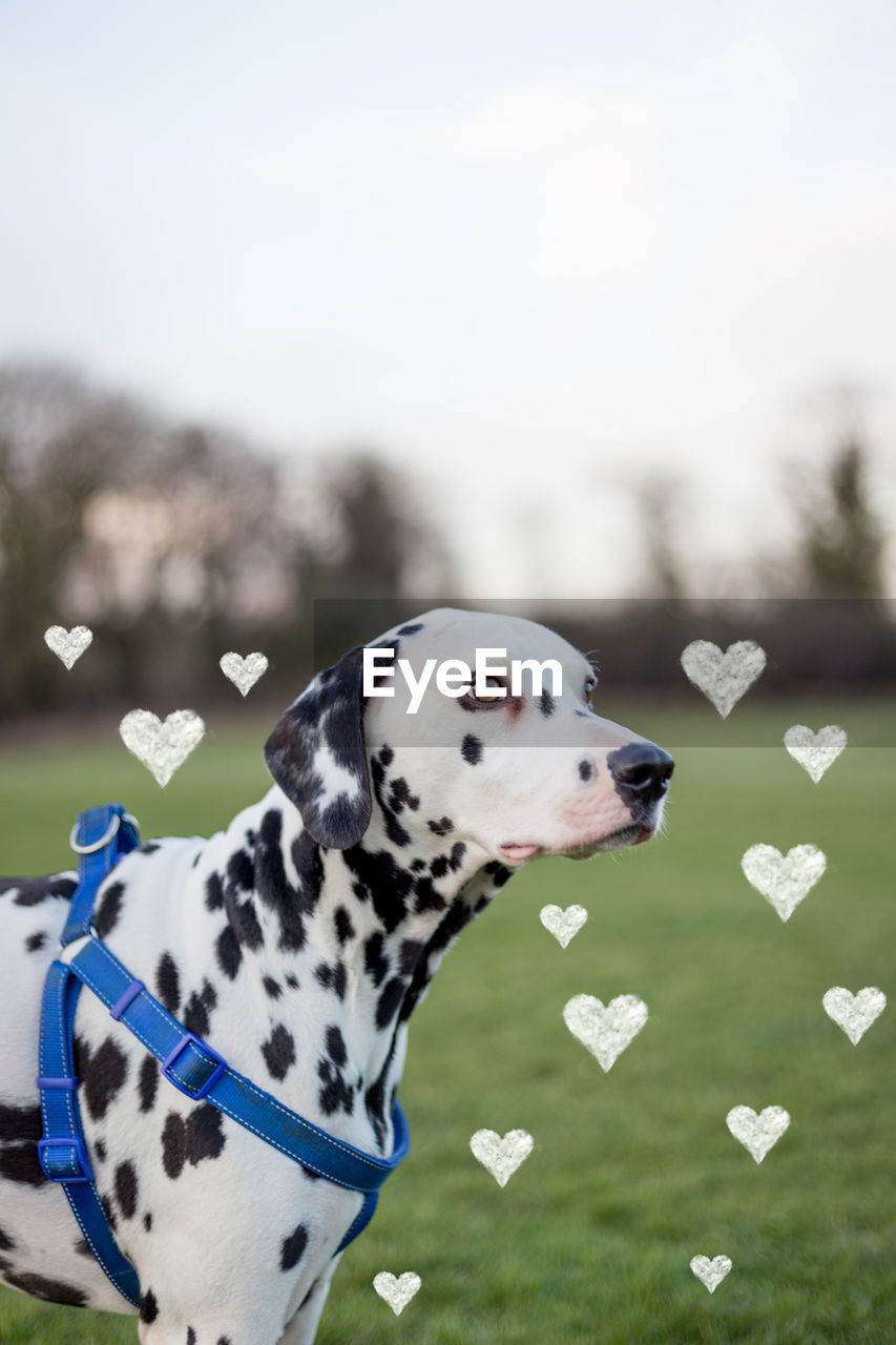 dalmatian dog, dog, one animal, pets, domestic animals, animal themes, day, mammal, outdoors, no people, close-up, tree