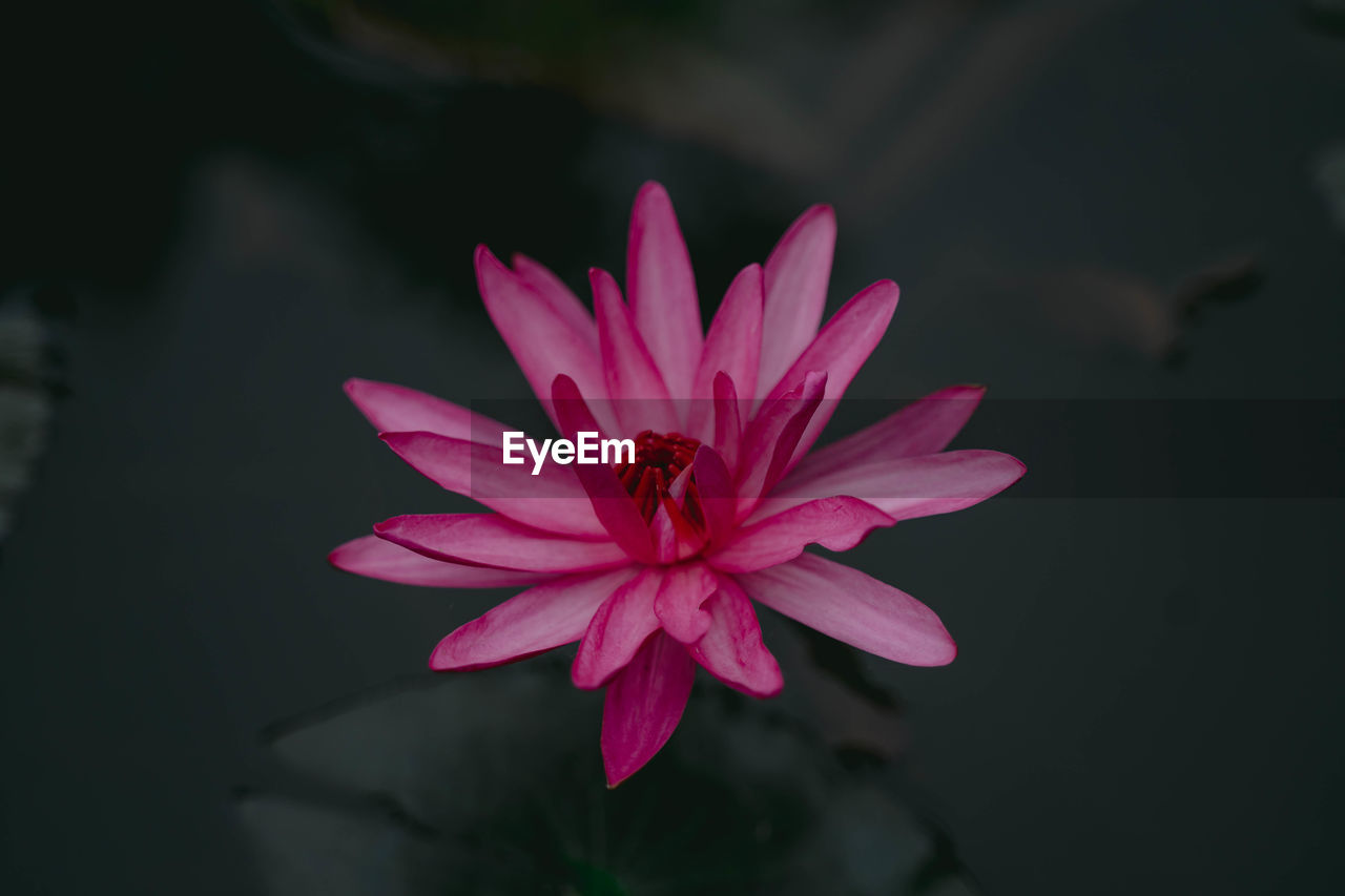 flower, flowering plant, petal, fragility, vulnerability, beauty in nature, flower head, freshness, inflorescence, close-up, plant, growth, pink color, one animal, invertebrate, animal themes, insect, focus on foreground, nature, animal, pollen, no people, outdoors, pollination