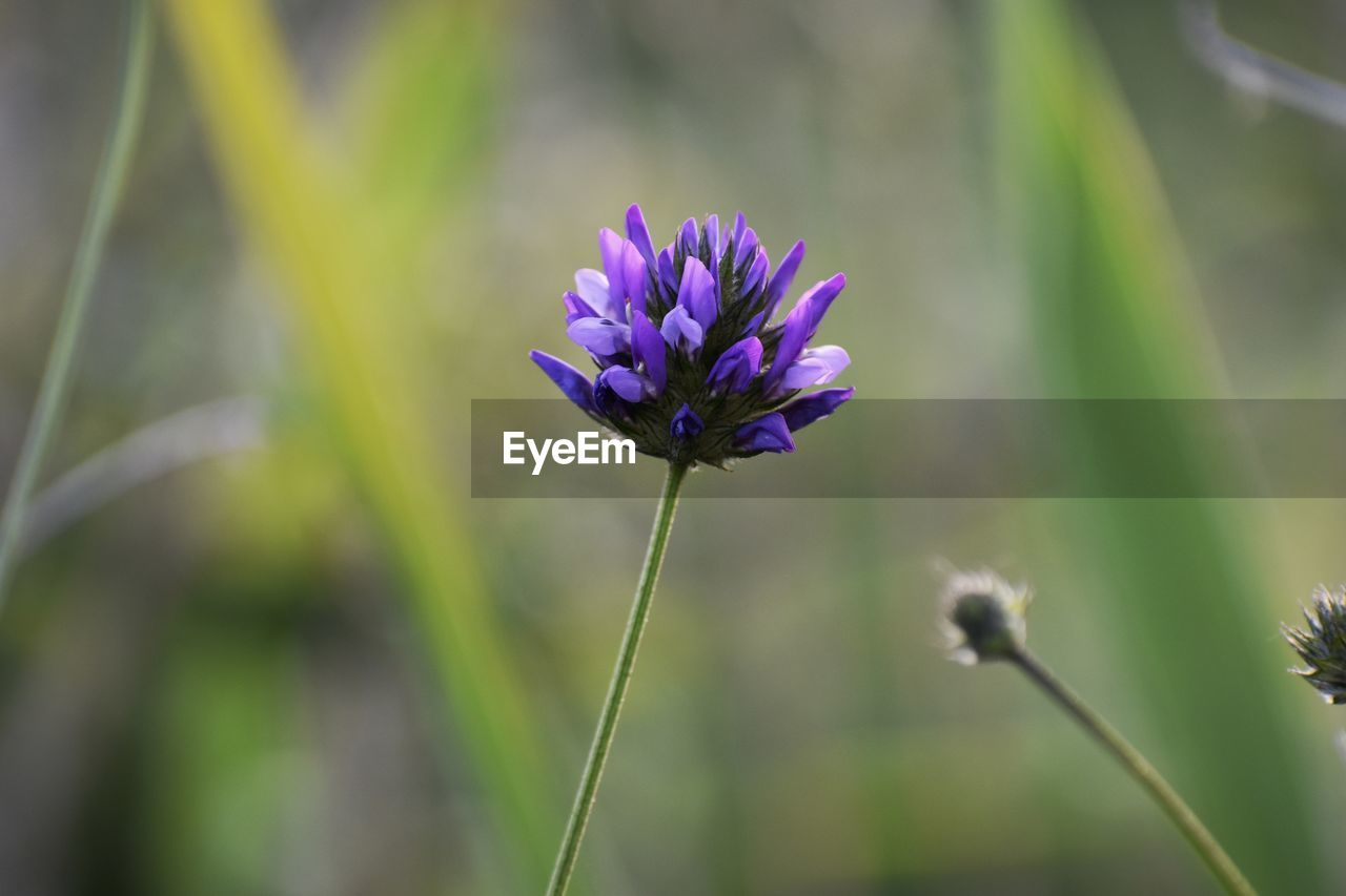 flowering plant, flower, plant, vulnerability, fragility, beauty in nature, freshness, growth, close-up, focus on foreground, petal, nature, purple, plant stem, flower head, inflorescence, no people, day, botany, selective focus, outdoors, springtime, sepal